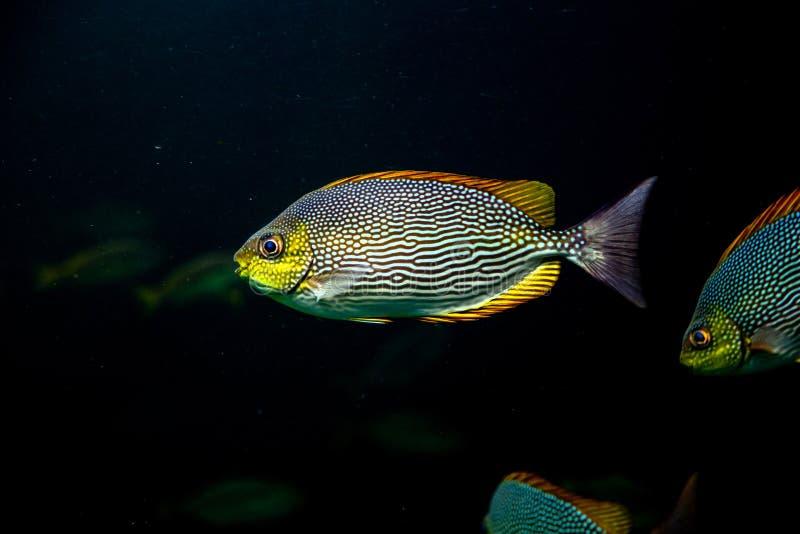ζωηρόχρωμα ψάρια που κολυμπούν το υποβρύχιο ωκεάνιο νερό στοκ εικόνες