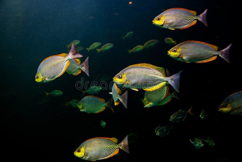 ζωηρόχρωμα ψάρια που κολυμπούν το υποβρύχιο ωκεάνιο νερό στοκ εικόνα με δικαίωμα ελεύθερης χρήσης