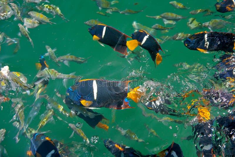 ζωηρόχρωμα ψάρια τροπικά στοκ εικόνα με δικαίωμα ελεύθερης χρήσης