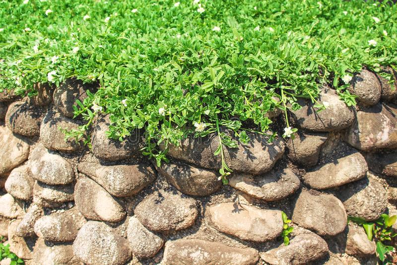Ζωηρόχρωμες πράσινες εγκαταστάσεις με την άσπρη ανάπτυξη λουλουδιών φύσης στον τοίχο πετρών στο υπόβαθρο κήπων στοκ φωτογραφία