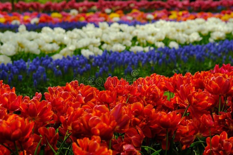 Ζωηρόχρωμη άνθιση τουλιπών και λουλουδιών musucari σε Keukenhof στις Κάτω Χώρες στοκ εικόνες
