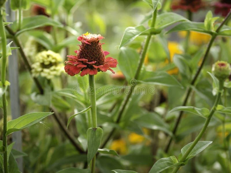 Ζωηρόχρωμη άνθιση zinnias στοκ εικόνα με δικαίωμα ελεύθερης χρήσης