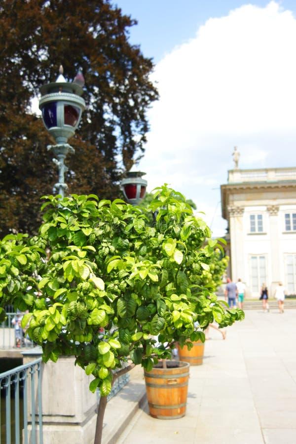 Ζωηρόχρωμη ανάπτυξη δέντρων σε ένα δοχείο με το βασιλικό παλάτι Lazienki στο υπόβαθρο Βαρσοβία, Πολωνία στοκ εικόνες