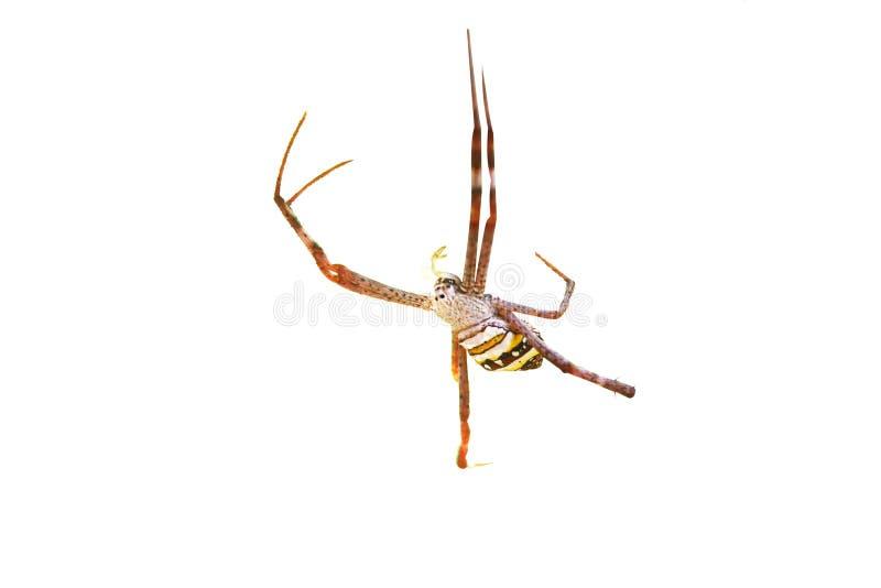Ζωηρόχρωμη αράχνη που απομονώνεται στο άσπρο υπόβαθρο στοκ εικόνες