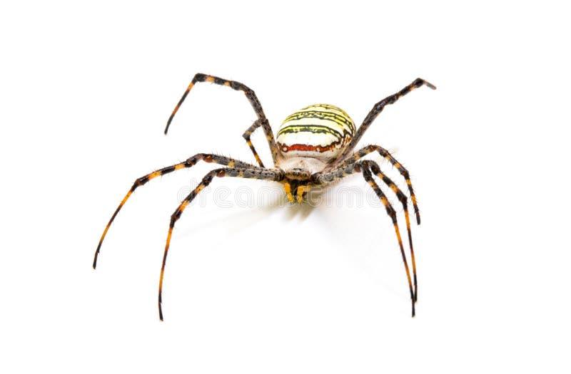 Ζωηρόχρωμη αράχνη στο άσπρο υπόβαθρο Τροπική φωτογραφία κινηματογραφήσεων σε πρώτο πλάνο αραχνών καβουριών εντόμων Εξωτικό λεπτομ στοκ εικόνες