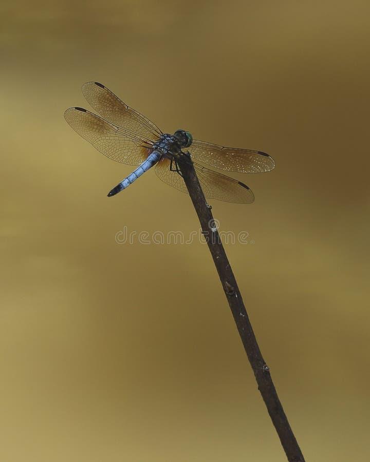 Ζωηρόχρωμη μπλε λιβελλούλη dasher στοκ εικόνα