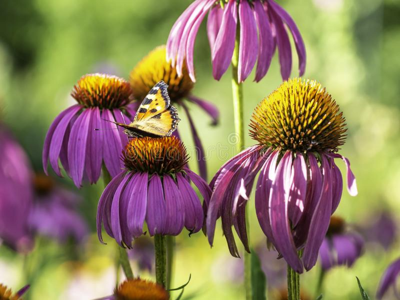 Ζωηρόχρωμη πεταλούδα σε ένα ρόδινο λουλούδι στοκ εικόνες με δικαίωμα ελεύθερης χρήσης