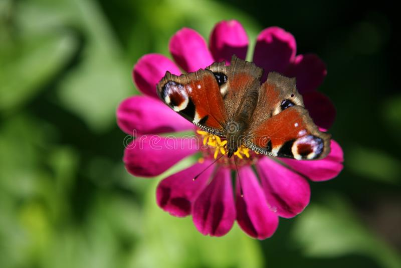 Ζωηρόχρωμη πεταλούδα σε ένα όμορφο λουλούδι στοκ φωτογραφία