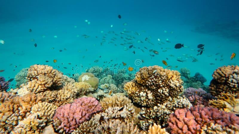 Ζωηρόχρωμη σκηνή ζωής κοραλλιογενών υφάλων, Ερυθρά Θάλασσα στοκ εικόνα με δικαίωμα ελεύθερης χρήσης