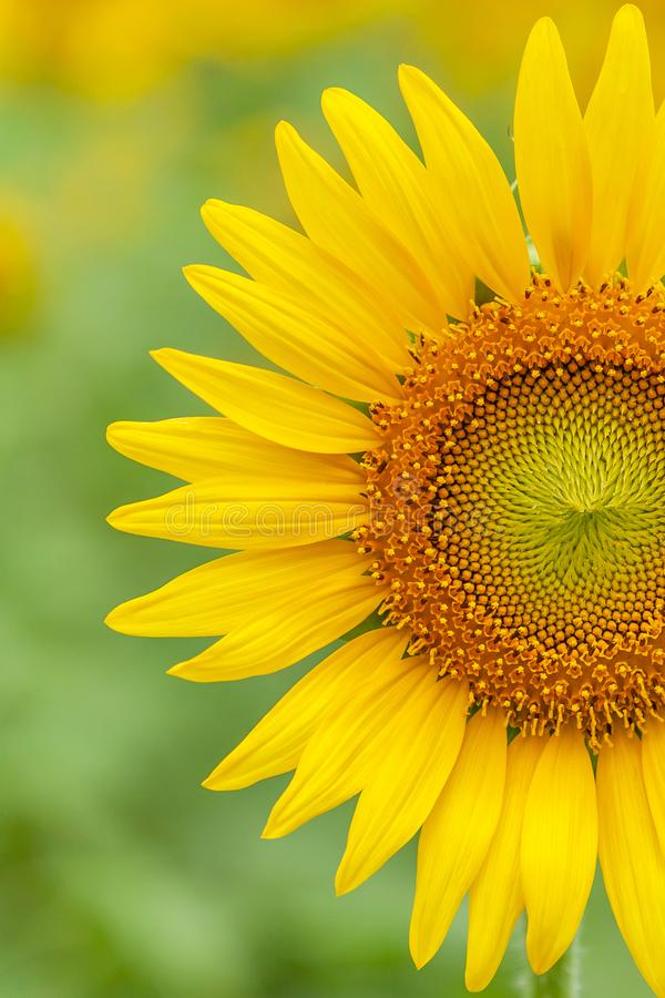Ζωηρόχρωμοι ανθίζοντας ηλίανθοι στο θολωμένο υπόβαθρο τομέων Τα κίτρινα λουλούδια είναι στην άνθιση στο φως πρωινού Θερινό άνθος στοκ εικόνες