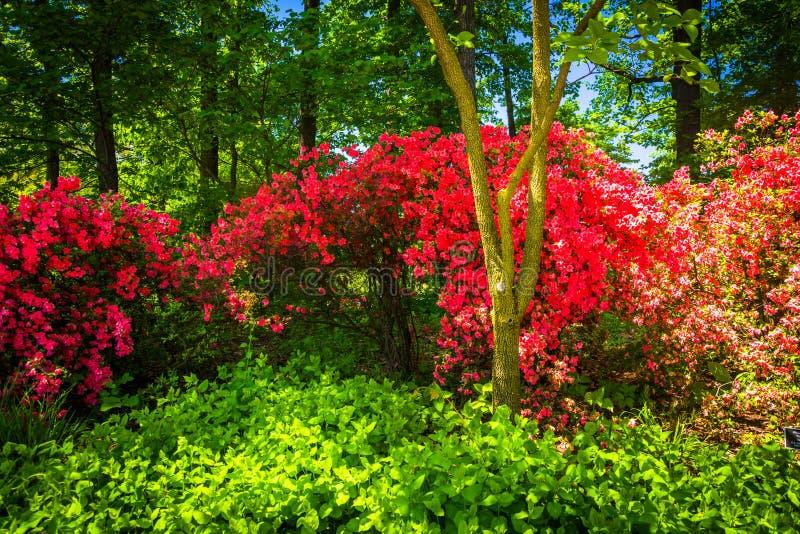 Ζωηρόχρωμοι θάμνοι στον εθνικό δενδρολογικό κήπο στην Ουάσιγκτον, συνεχές ρεύμα στοκ φωτογραφία