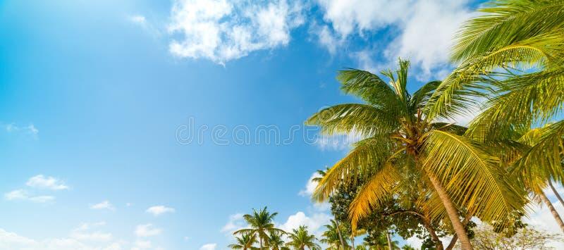 Ζωηρόχρωμοι φοίνικες καρύδων κάτω από έναν μπλε ουρανό στη Γουαδελούπη στοκ εικόνες με δικαίωμα ελεύθερης χρήσης