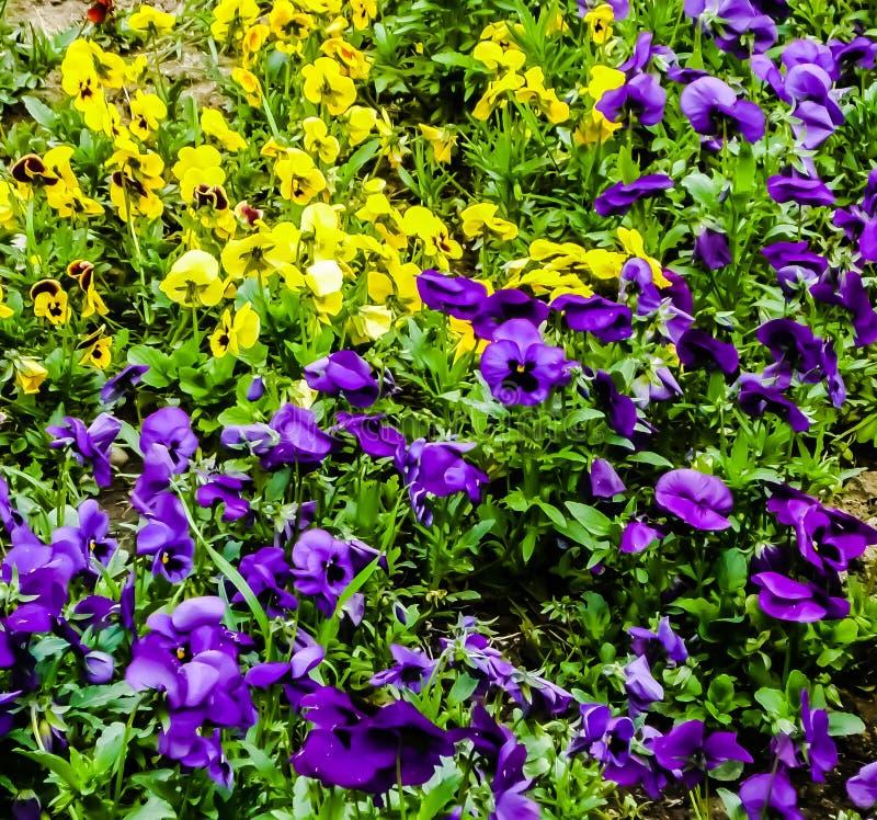 Ζωηρόχρωμος, κίτρινος, πορφυρός, τομέας, λουλούδια, χλόη, πράσινη στοκ εικόνες