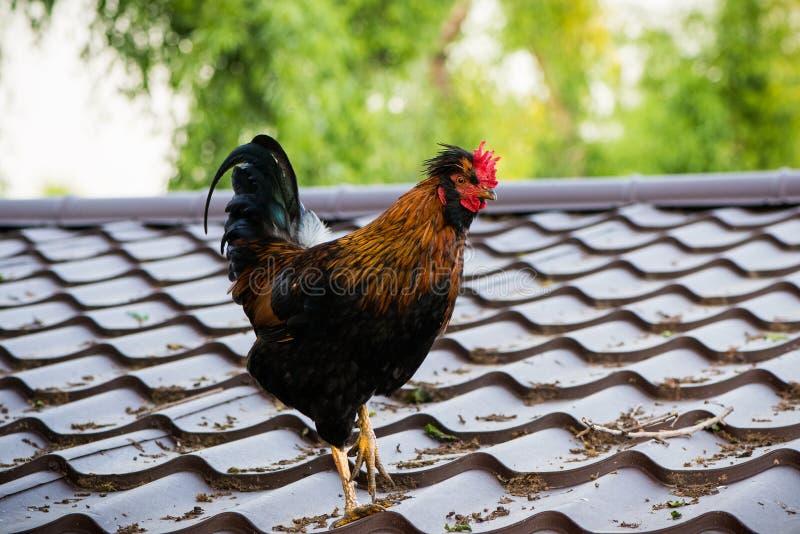 Ζωηρόχρωμος κόκκορας σε μια στέγη στοκ φωτογραφία με δικαίωμα ελεύθερης χρήσης