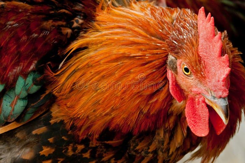 ζωηρόχρωμος κόκκορας στοκ φωτογραφία με δικαίωμα ελεύθερης χρήσης