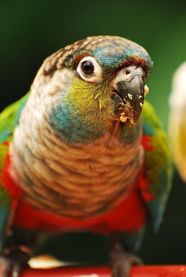 ζωηρόχρωμος παπαγάλος της Αμαζώνας στοκ εικόνα με δικαίωμα ελεύθερης χρήσης