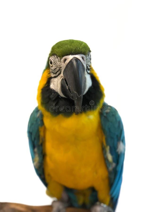 Ζωηρόχρωμος παπαγάλος Ara με το φωτεινό φτέρωμα του μπλε κιτρινοπράσινου και άσπρου χρώματος στοκ εικόνες με δικαίωμα ελεύθερης χρήσης