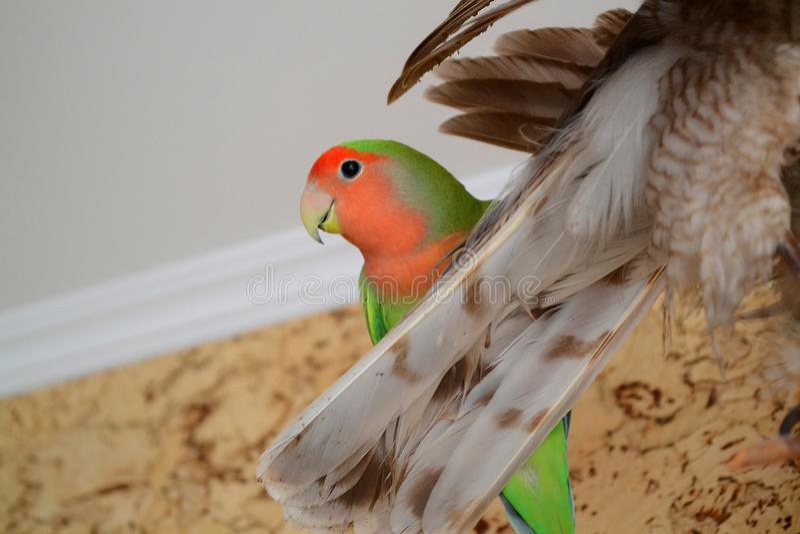 Ζωηρόχρωμος παπαγάλος Lovebird στο τρόπαιο του άγριου πουλιού στο σπίτι στοκ εικόνα με δικαίωμα ελεύθερης χρήσης