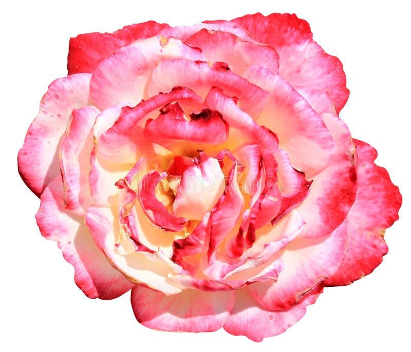 Ζωηρόχρωμος ρόδινος αυξήθηκε άνθιση λουλουδιών που απομονώθηκε στο άσπρο υπόβαθρο στοκ εικόνες