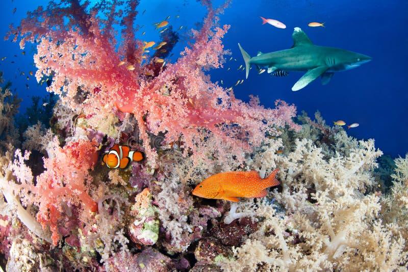 Ζωηρόχρωμος σκόπελος με τον καρχαρία και grouper στοκ εικόνα
