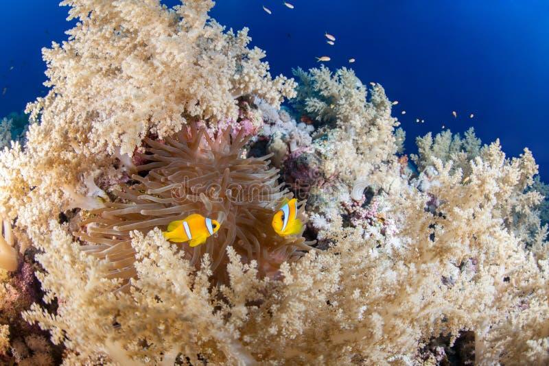 Ζωηρόχρωμος σκόπελος με το ζεύγος ψαριών anemone στοκ φωτογραφία με δικαίωμα ελεύθερης χρήσης