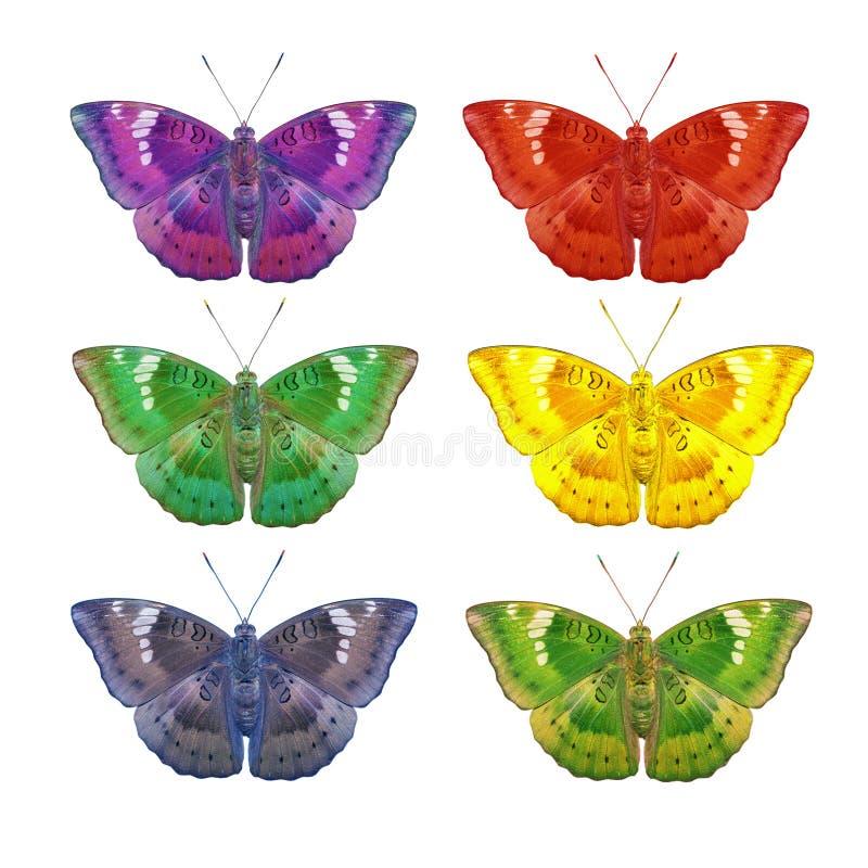 Ζωηρόχρωμος της αρσενικής πεταλούδας βαρώνων μάγκο στο λευκό στοκ εικόνα με δικαίωμα ελεύθερης χρήσης