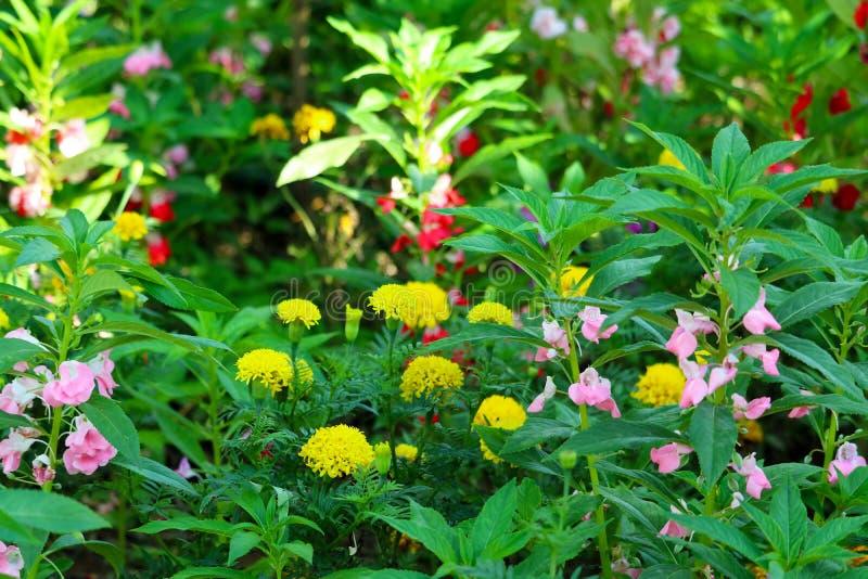 ζωηρόχρωμος του κίτρινου κόκκινου ρόδινου λουλουδιού που ανθίζει διακοσμήστε στον κήπο στοκ φωτογραφία