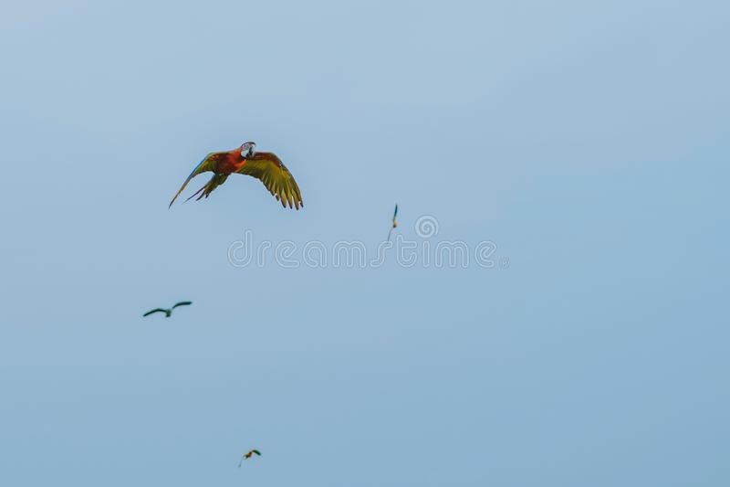 Ζωηρόχρωμος του πετάγματος πρακτικής παπαγάλων macaw στοκ εικόνες