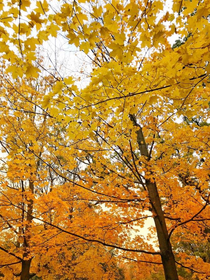 Ζωηρόχρωμος των φύλλων φθινοπώρου στον κλάδο Φύση χρώματος φύλλων που αλλάζει από πράσινο σε κίτρινο, πορτοκαλί και κόκκινο υπόβα στοκ φωτογραφία με δικαίωμα ελεύθερης χρήσης