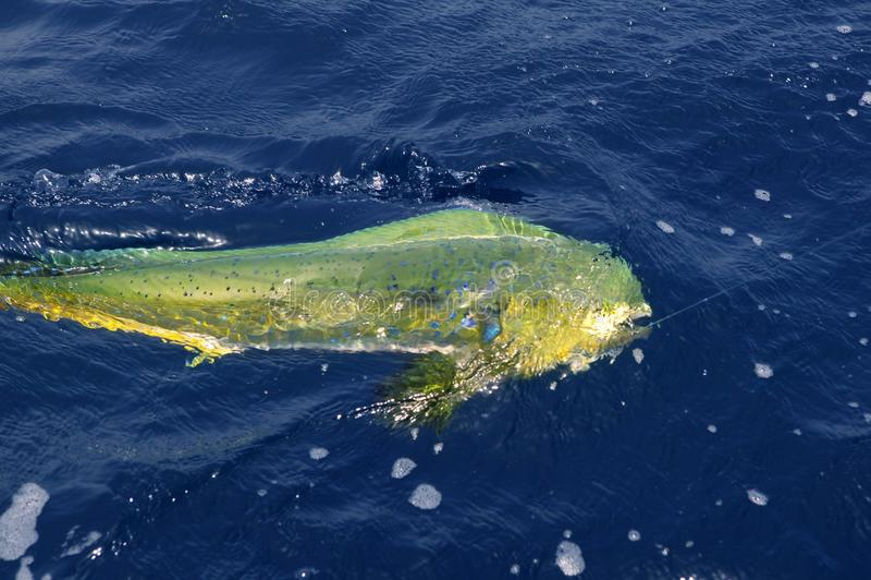 ζωηρόχρωμος saltwater ψαριών dorado αθ&lambda στοκ εικόνες