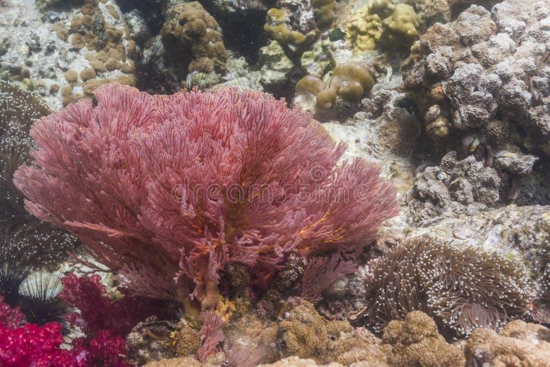 Ζωηρόχρωμος seafan στο νησί Lipe στοκ εικόνες με δικαίωμα ελεύθερης χρήσης