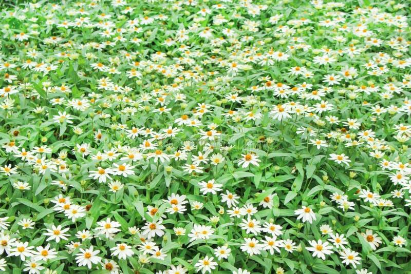 Ζωηρόχρωμο άσπρο violacea της Zinnia λουλουδιών που ανθίζει στον κήπο στοκ φωτογραφία με δικαίωμα ελεύθερης χρήσης