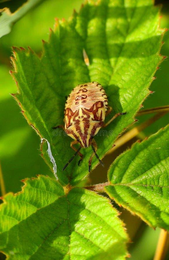 Ζωηρόχρωμο έντομο σε ένα πράσινο φύλλο στοκ εικόνες
