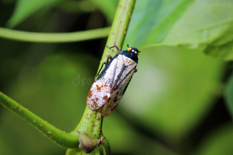 Ζωηρόχρωμο έντομο στο πράσινο Μπόρνεο στοκ φωτογραφία με δικαίωμα ελεύθερης χρήσης