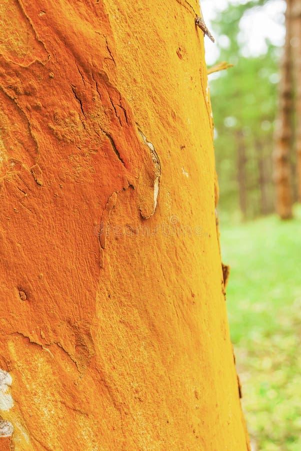 Ζωηρόχρωμο αφηρημένο σχέδιο του αρχαίου φλοιού δέντρων ευκαλύπτων στα φυσικά θολωμένα υπόβαθρα, φανταστικό του βρύου και της λειχ στοκ φωτογραφία