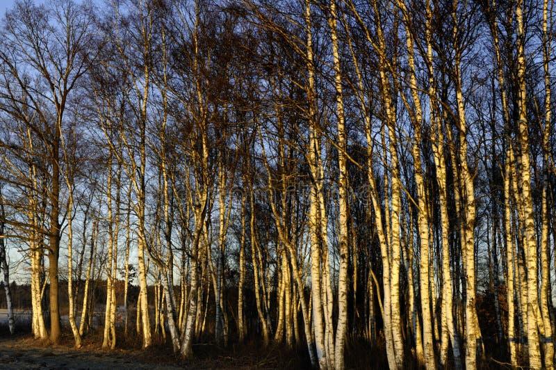 Ζωηρόχρωμο δάσος δέντρων σημύδων στοκ φωτογραφίες με δικαίωμα ελεύθερης χρήσης