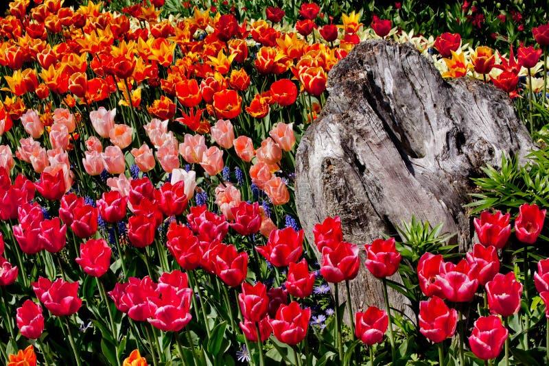 ζωηρόχρωμο δάσος της Ουάσιγκτον τουλιπών λουλουδιών στοκ φωτογραφία με δικαίωμα ελεύθερης χρήσης