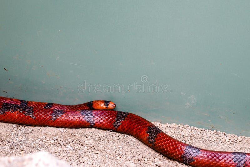 Ζωηρόχρωμο επικίνδυνο κοίταγμα αλλά nonpoisonous φίδι, Milksnake στοκ φωτογραφία