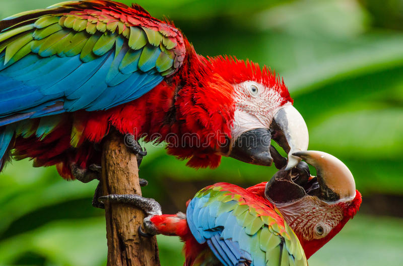 Ζωηρόχρωμο ζεύγος macaws στο κούτσουρο, ζωηρόχρωμο στη φύση στοκ φωτογραφίες