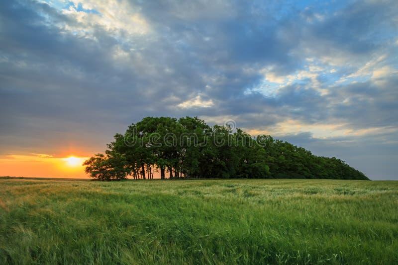 Ζωηρόχρωμο ηλιοβασίλεμα πέρα από έναν πράσινο τομέα του σίτου στοκ εικόνες