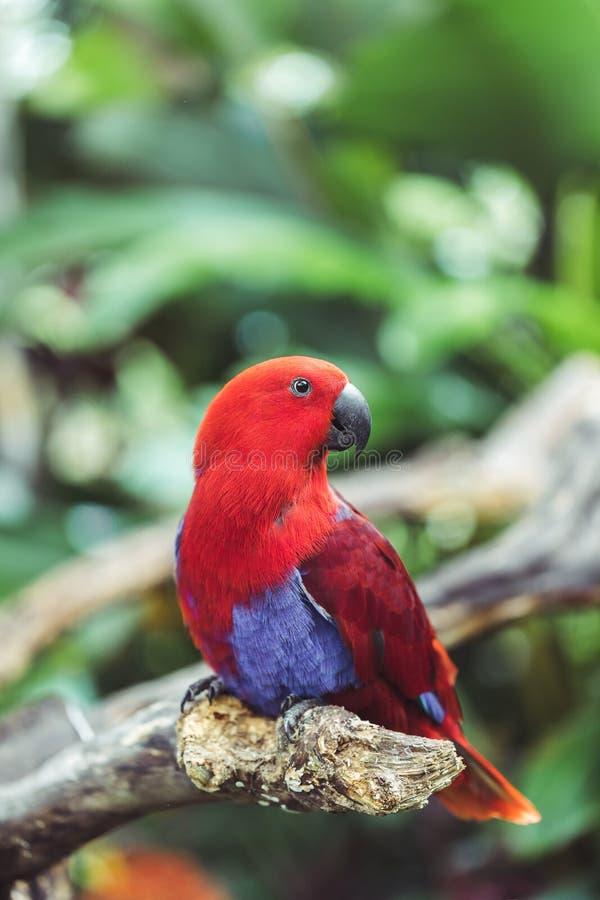 Ζωηρόχρωμο κόκκινο θηλυκό roratus παπαγάλων Eclectus στοκ εικόνες