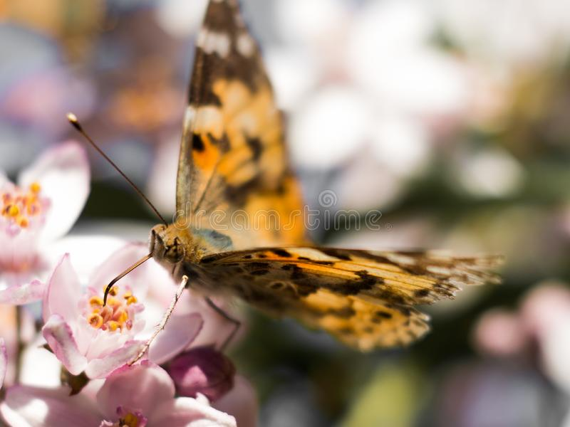 Ζωηρόχρωμο να ταΐσει πεταλούδων με ένα ρόδινο λουλούδι στοκ φωτογραφία με δικαίωμα ελεύθερης χρήσης
