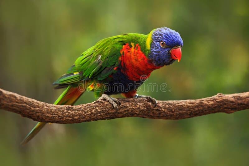 Ζωηρόχρωμο ουράνιο τόξο παπαγάλων, haematodus Lorikeets Trichoglossus, που κάθεται στον κλάδο, ζώο στο βιότοπο φύσης, Αυστραλία β στοκ εικόνες με δικαίωμα ελεύθερης χρήσης