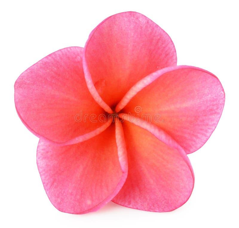 Ζωηρόχρωμο λουλούδι plumeria που απομονώνεται στο λευκό στοκ φωτογραφίες