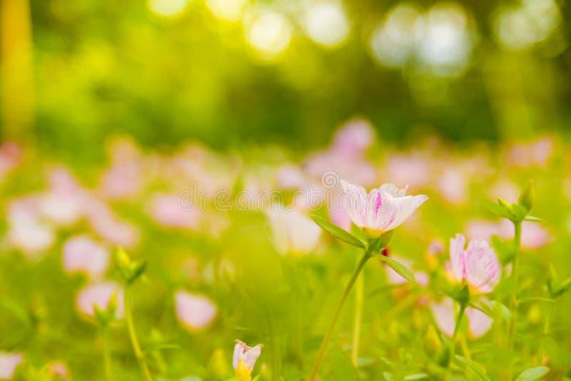 Ζωηρόχρωμο ρόδινο λουλούδι στον όμορφο κήπο στοκ φωτογραφίες