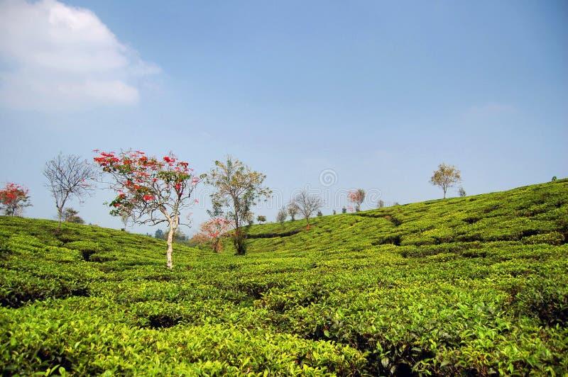 ζωηρόχρωμο τσάι κήπων στοκ εικόνες με δικαίωμα ελεύθερης χρήσης