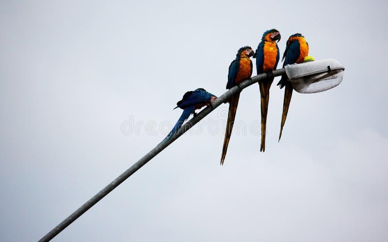 Ζωηρόχρωμο υπόλοιπο macaws στον ελαφρύ πόλο στοκ φωτογραφίες με δικαίωμα ελεύθερης χρήσης