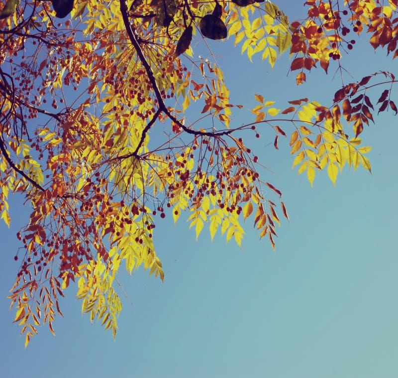 Ζωηρόχρωμο φύλλωμα δέντρων το φθινόπωρο Υπόβαθρο ουρανού φύλλων φθινοπώρου η εικόνα είναι που φιλτράρεται αναδρομική στοκ εικόνες