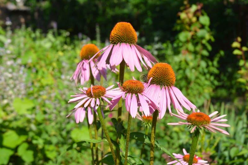Ζωηρόχρωμο coneflower ή πορφυρό echinacea στο καλοκαίρι μέλισσα-φιλικό φ στοκ φωτογραφία