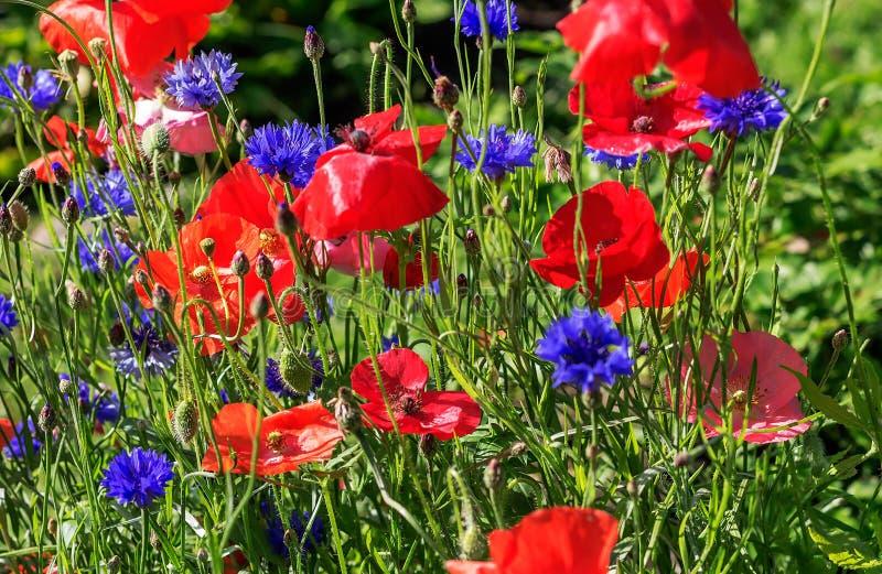 Ζωηρόχρωμο floral υπόβαθρο των ισχυρών cornflowers και των κόκκινων παπαρουνών στοκ φωτογραφία με δικαίωμα ελεύθερης χρήσης